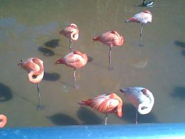 Flamingos by CrazyCartoonGirl