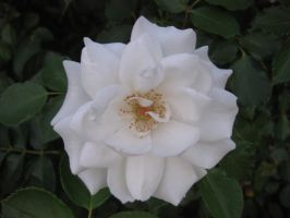 Rose 040215 03 by acurmudgeon