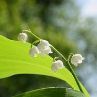 Lily of the Valley by Elysium6