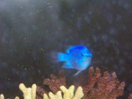 Damselfish in distress by orcafinatic