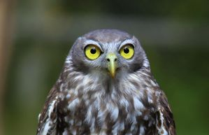 Barking Owl by wolftraz