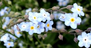 Forget-me-not by GLO-HE