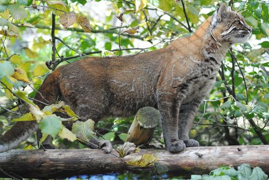 Asian Golden Cat by DeathCults