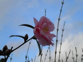 Camellia 3 by LilMickey27