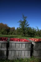 Orchards Harvest by robcwilliams
