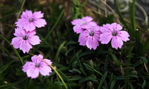 Dianthus microlepis 3 by lapis-lazuri