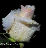 Dripping White Rose by BreeSpawn