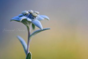 Edelweiss by vincentfavre