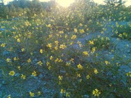 Yellow Carpet of Cytisus scoparius (Scotch Broom) by Harkfast