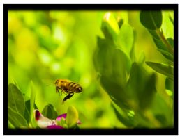 Busy bee by tspargo-photography