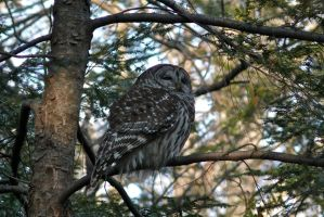 Barred Owl by ixbalam