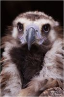Whisky the Monk Vulture III by W0LLE