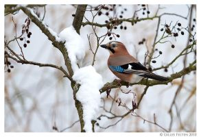 Eurasian Jay by Swordtemper