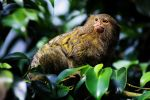 Marmoset by TriinErg