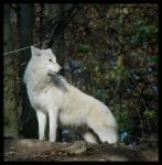 wolf: white guardian by morho