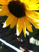 Sunflower 1 by WillowTreeWitch