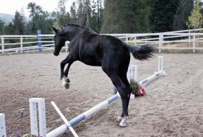 Black Warmblood Colt 007 by Notorious-Stock