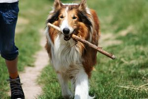 Collie and his stick by barockgurke228