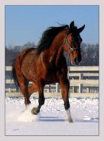 Thunder in the Snow by Equine-Resource