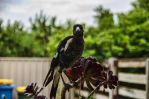 Magpie by djzontheball
