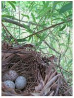 Cardinal Eggs in Willow Tree by CrystalMarineGallery
