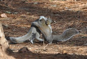 Squirrel Wrestling by Tailgun2009