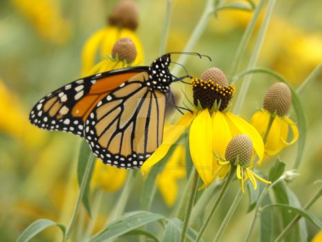 Spotted Monarch 2 (PRINTS AVAILABLE) by SkyeWrightPhotograph