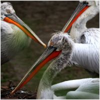 three pelicans with empty pockets... by 13-septembre