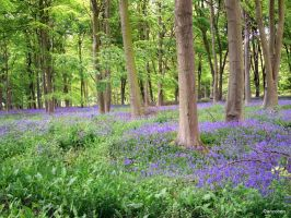 Bluebells galore by ancoben
