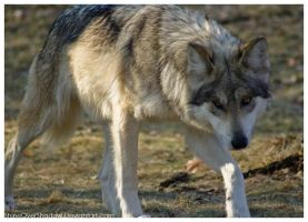 Mexican Wolf 038 by ShineOverShadow