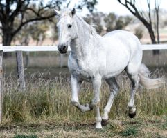 Andalusian stallion 5 by xxMysteryStockxx