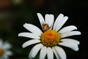 White flower 3 with spider. by TonistL