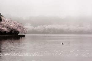 Cherry Blossom Misty Morning by AugenStudios