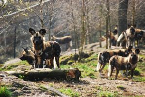 African wild dog by ThePonytailParade