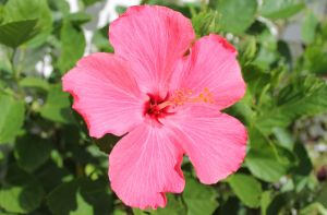 Hibiscus Pink by rdj550