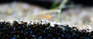 Baby Cherry Shrimp by James-Fong