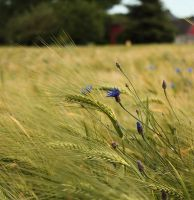 cornflowers in the field by abcdefoxx