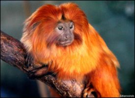 Golden Lion Tamarin 2 by SilkenWinds