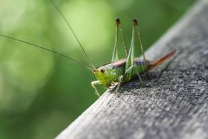 Crickets... by Carenza