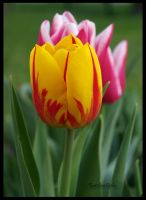 Tulips II by carolinbie