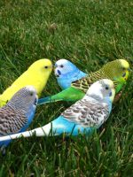 My Parakeet Rainbow by shinigamisgem