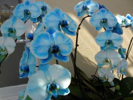 The First Blue Orchids by ShelbyGT-500KR