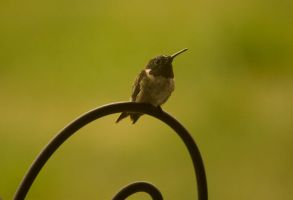 Male Ruby-Throated HummingBird August - 2014 -16-1 by toshema