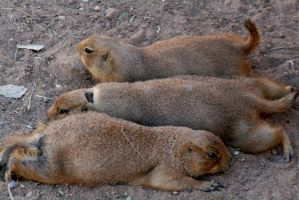 NM prairie dog lineup by sarabil1