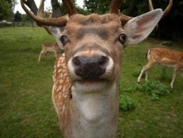 a deer with a NOSE by feldrand