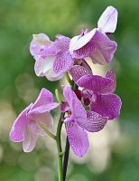 purple orchid by SvitakovaEva
