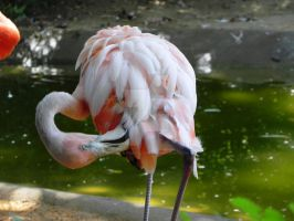 Pink Flamingo by Passion-For-Pictures