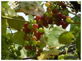 Fruit of the Vine I by eosthilas