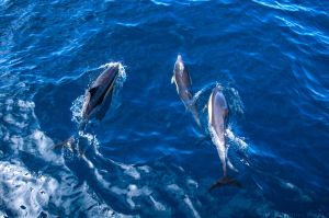 Dolphins of Gran Canaria by Sanctus87