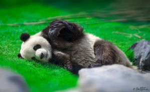 Cute Panda by BenHeine